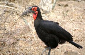 Calao terrestre, femelle (Afrique du Sud)