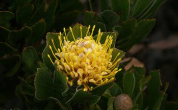 Coussin d'épines jaune (Afrique du Sud)