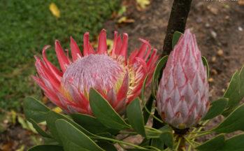 Protea (Afrique du Sud)