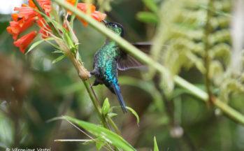 Colibri (Costa Rica)