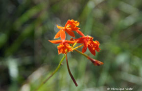 Orchidée epidendrum (Costa Rica)