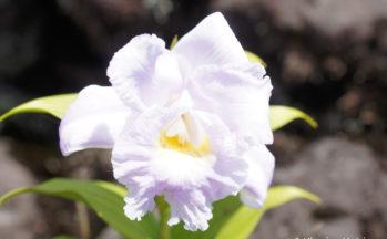 Orchidée Sopralia (Costa Rica)