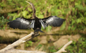 Anhinga (Costa Rica)