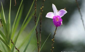 Orchidée bambous (Costa Rica)