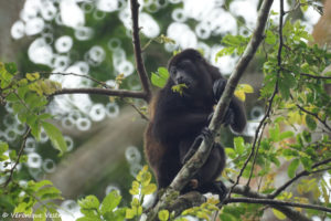 Singe hurleur (Costa Rica)
