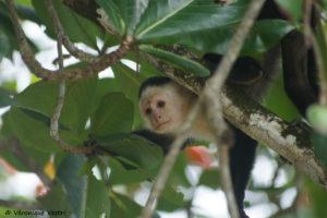 Singe capucin (Costa Rica)