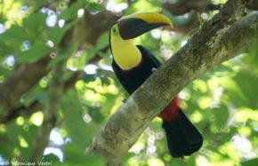 Toucan Swainson (Costa Rica)