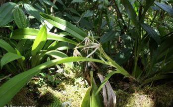 Equateur (Orchidée)