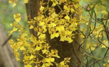 Orchidée (Equateur)