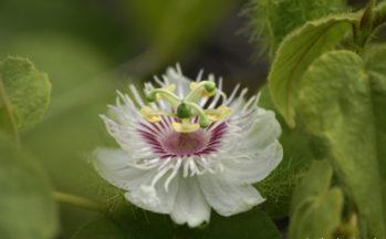 Fruit de la passion endémique (Equateur - Galapagos)