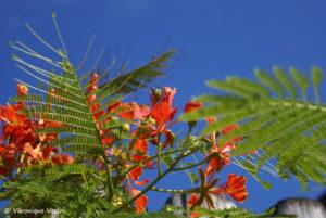 Flamboyant (Equateur – Galapagos)
