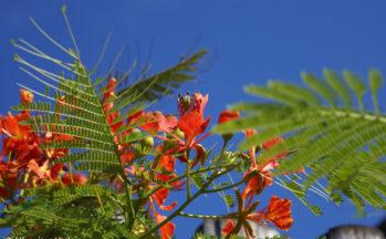 Flamboyant (Equateur - Galapagos)