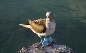 Fou à pattes bleues (Equateur - Galapagos)