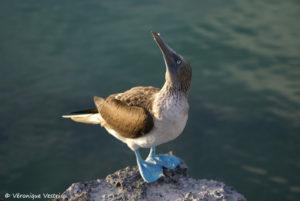 Fou à pattes bleus (Equateur, Galapagos)