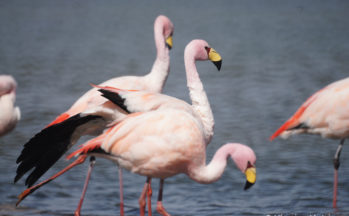 Flamants de James (Bolivie)