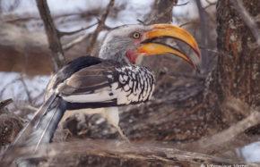 Calao à bec jaune (Botswana)