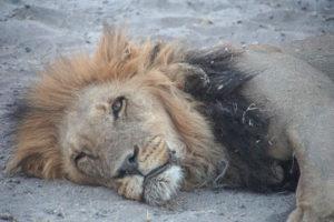 Lion (Botswana)