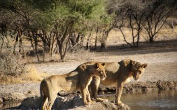 Lionnes (Botswana)