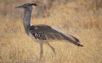 Outarde kori (Botswana)