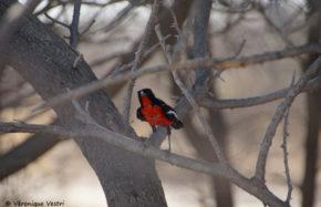 Gonolek rouge et noir (Botswana)