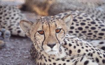 Guépard (Botswana)