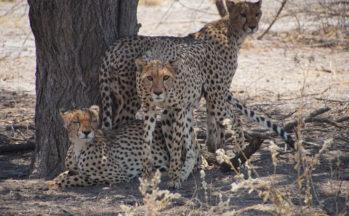 Guépards (Botswana)