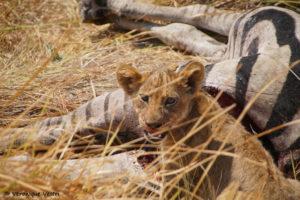botswana_2366_Okavango_Moremi_Lionne_proie_zebre