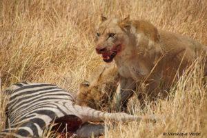botswana_2437_Okavango_Moremi_Lionne_proie_zebre