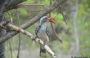 Calao à bec rouge (Botswana)