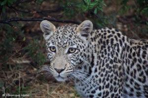 botswana_3320_Okavango_Moremi_Leopard_JeuneMale14mois
