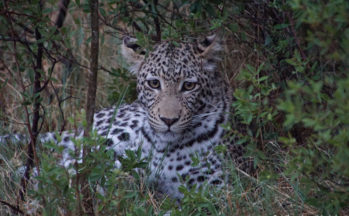 Jeune léopard 14 mois (Botswana)