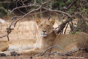 botswana_3724_Chobe_Lionnes