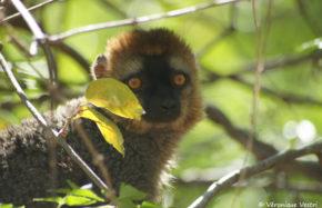 Lémur à front roux (Madagascar)