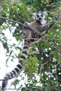 Lémur catta (Madagascar)