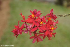 Orchidée (Madagascar)