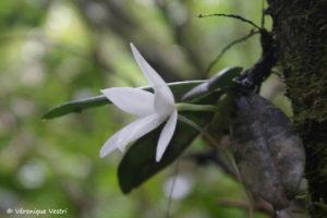 Orchidée angrecum sesquipedale (Madagascar)