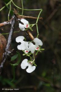 Orchidée oeonia rosea (Madagascar)