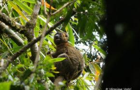 Hapalémur sinus (Madagascar)
