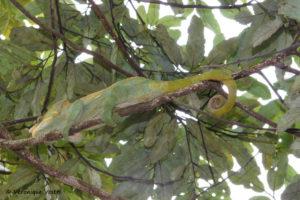 Caméléon furcifer oustaleti (Madagascar)