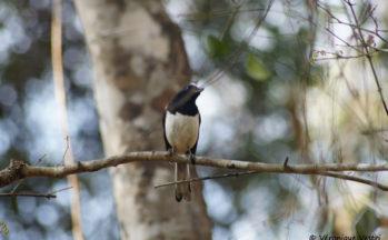 Dyal malgache (Madagascar)