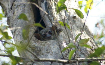 Lémurien sportif, nocturne (Madagascar)