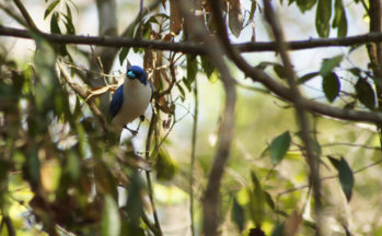 Artamie azurée (Madagascar)