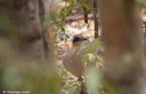 Coua à tête rousse (Madagascar)