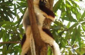 Sifaka (Madagascar)