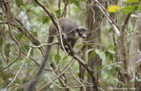 Lémur Mongoz (Madagascar)