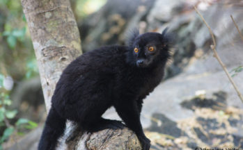 Maki macaco, mâle (Madagascar)