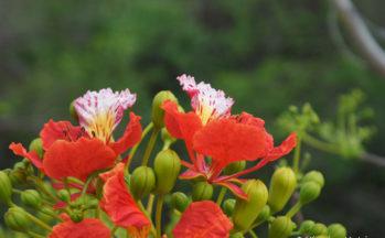 Flamboyant (Madagascar)