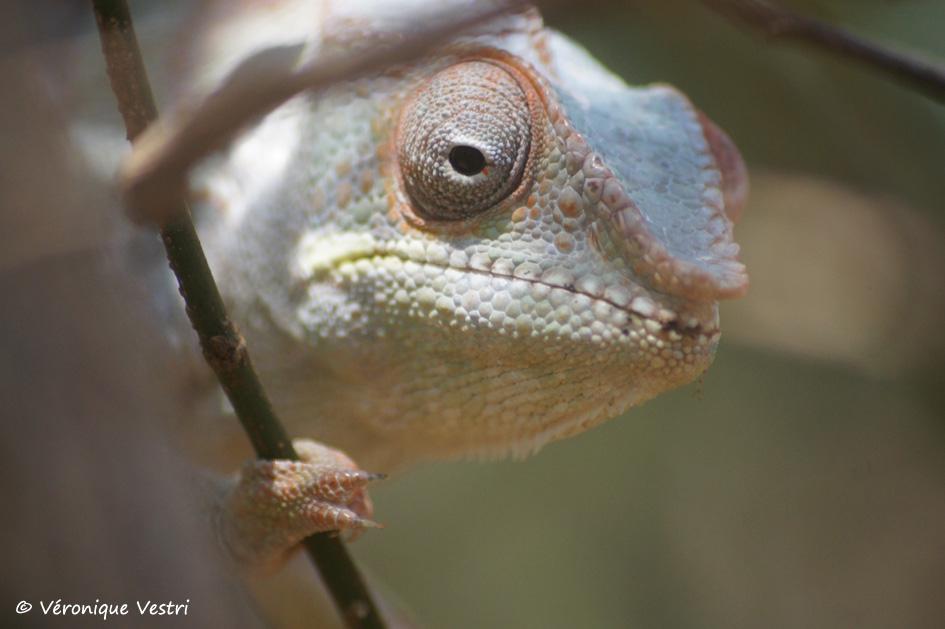 Caméléon furcifer (Madagascar)