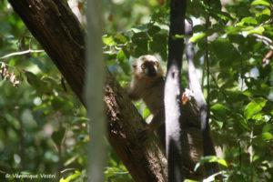Lémur de Sanford, mâle (Madagascar)