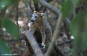 Lémur couronné, mâle (Madagascar)